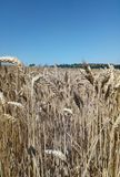 Wheat field. Spikelets close up. On the horizon, the blue sky. stock image