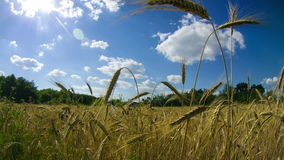 Wheat Field and Spikelets. Time Lapse. Wheat Field and Spikelets, blue sky, white clouds. Time Lapse. Video on the theme food, agriculture and the environment stock footage