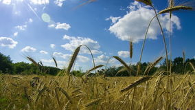 Wheat Field and Spikelets. Time Lapse. Wheat Field and Spikelets, blue sky, white clouds. Time Lapse. Video on the theme food, agriculture and the environment stock video footage