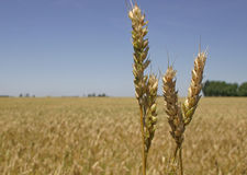 Wheat field and spikes Stock Image