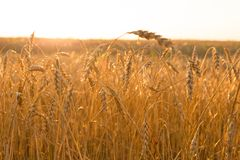 Wheat field. Spikes in backlight Royalty Free Stock Photos