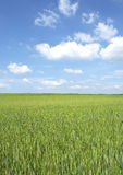 Wheat field in spring. Beautiful wheat field in spring Royalty Free Stock Photos