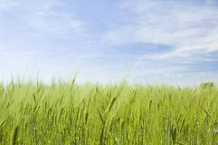 Wheat field on spring Stock Photography