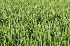 Wheat field. In spring, France stock photo