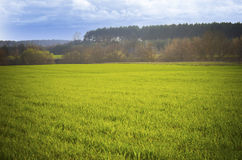 Wheat field in spring Stock Photography