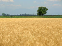 Wheat field in spring and lone Royalty Free Stock Photos