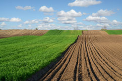 Wheat field in spring Royalty Free Stock Photo