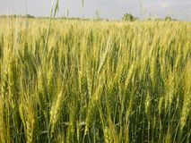 Wheat field in spring time. Nature, agriculture, landscaoe stock photos