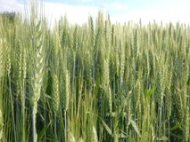 Wheat field in spring time. Nature, agriculture, landscaoe royalty free stock photo