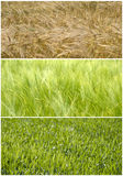 Wheat field from Spring to Summer stock photo
