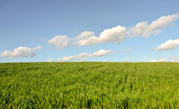 Wheat Field in Spring Royalty Free Stock Photos