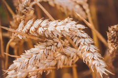 Wheat in the field. Wheat stalks ripen in the sun as the harvest time approaches Stock Photo