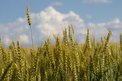 Wheat. This wheat field stands ready to harvest -- illustrating the richness of the American farm Stock Photography