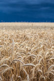 Wheat field before the storm Royalty Free Stock Photography
