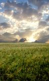 Wheat field during stormy day.  Royalty Free Stock Images