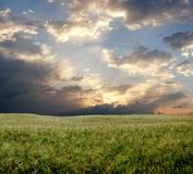 Wheat field during stormy day Royalty Free Stock Image