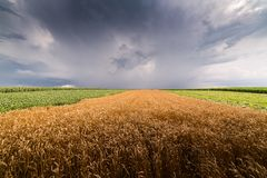 Wheat field at stormy day Royalty Free Stock Photography