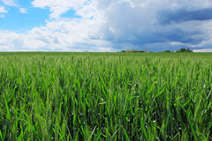 Wheat field with stormy sky Royalty Free Stock Images
