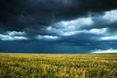 Wheat field and stormy sky Royalty Free Stock Photo
