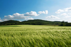 Wheat field in stormy wind Stock Photography
