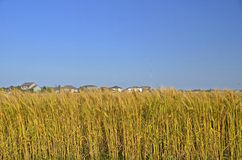 Wheat field and suburban houses Royalty Free Stock Image