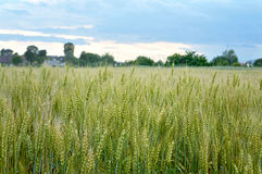 Wheat field. In the sumer Royalty Free Stock Photography
