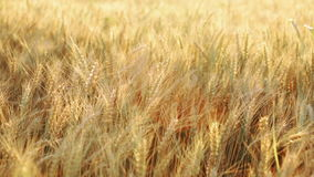 Wheat field at sumer stock footage