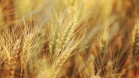 Wheat field at sumer stock video