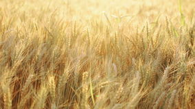 Wheat field at sumer, right pan stock video footage