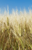 Wheat field in summer. Wheat field before harvest in summer macro Royalty Free Stock Photos
