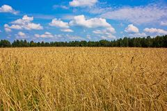 Wheat field in summer Stock Photos