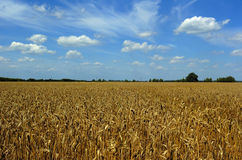 Wheat field in summer. Sun close up with blue and cloudy background royalty free stock photography