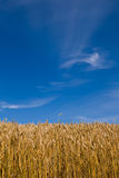 Wheat field in summer. Wheat field sunlit and blue skies with few cirrus clouds. Summer in Switzerland Stock Images
