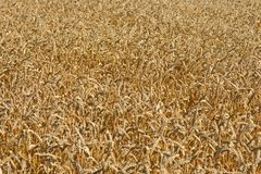 Wheat field in summer Royalty Free Stock Photo