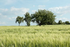 Wheat field in summer. Wheat field in Aisne, Picardie region of France royalty free stock photography