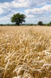 Wheat field in summer with blue sky. A field of wheat with blue skies, short depth of view and a single tree in the background Royalty Free Stock Photography