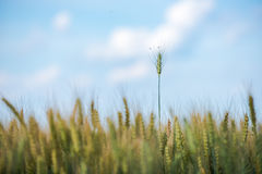 Wheat field. Wheat summer field and blue sky, Romania Royalty Free Stock Image