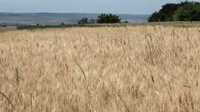 Wheat field in summer breeze, outside shooting Stock Photography