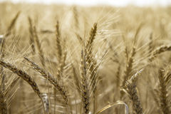 Wheat field. In summer close up Royalty Free Stock Photography