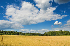 Wheat field in summer day Royalty Free Stock Photo