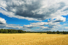 Wheat field in summer day Royalty Free Stock Photos