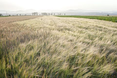 Wheat Field. On a Summer day. Cereal agriculture Royalty Free Stock Photo