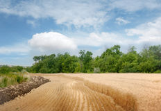 Wheat field in summer day Royalty Free Stock Photography