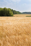 Wheat field by summer day Royalty Free Stock Photos