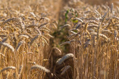 Wheat field on a summer day Royalty Free Stock Image
