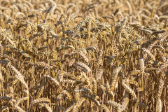 Wheat field on a summer day Stock Images