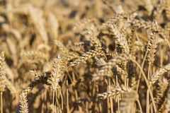 Wheat field on a summer day Royalty Free Stock Images