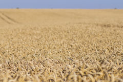 Wheat field on a summer day Royalty Free Stock Photo
