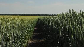Wheat field on a summer day stock video footage