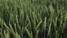 Wheat field on a summer day stock footage